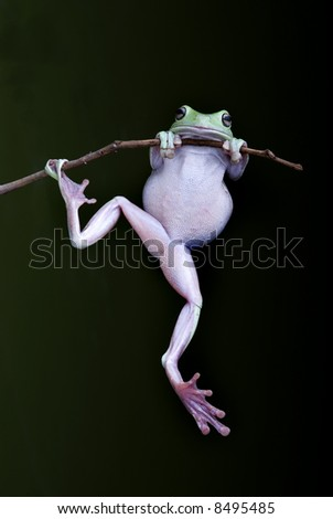 Green Treefrog clinging to a branch with black background - stock photo