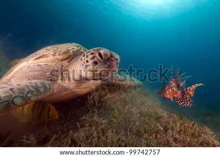 Green turtle and buddy Lionfish in the Red Sea. - stock photo