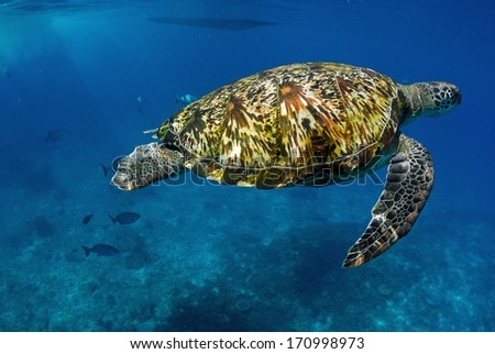 Green turtle at sea surface, Similan, Thailand - stock photo
