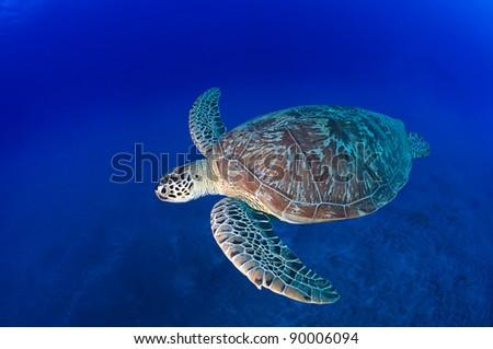 Green turtle, Chelonia mydas - stock photo
