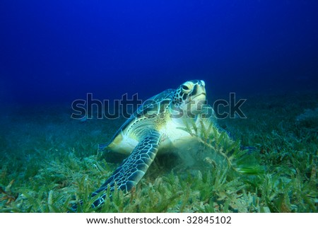Green Turtle (Chelonia mydas) feeding on seagrass - stock photo