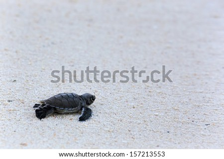 Green Turtle Hatchlings - stock photo