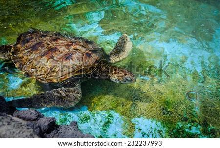 Green turtle - Hawaii - stock photo