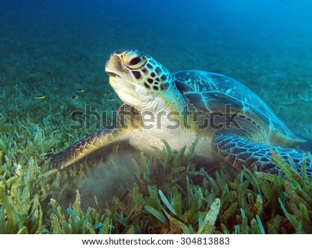 Green turtle in a field of seagrass - stock photo