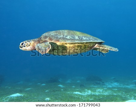 Green turtle in Bohol sea, Phlippines Islands - stock photo