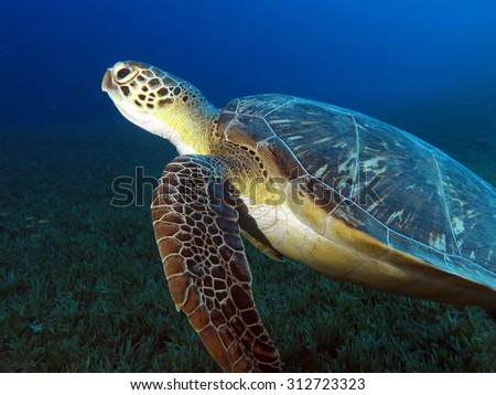 Green turtle launching to surface to breathe - stock photo