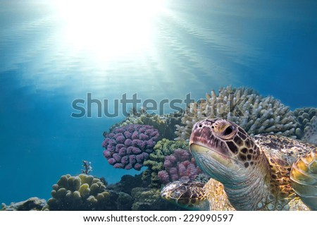 Green Turtle on the coral reef - stock photo