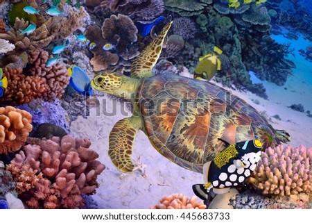 Green turtle reef - stock photo