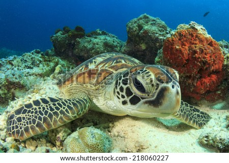 Green Turtle rubs shell against coral to polish and clean itself - stock photo