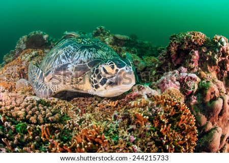 Green Turtle sleeping on a tropical coral reef on a dark, murky afternoon during a plankton bloom - stock photo