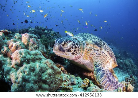 Green Turtle sleeping on the sea bed amongst the coral. - stock photo
