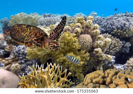 green turtle swimming in blue ocean,great barrier reef. - stock photo