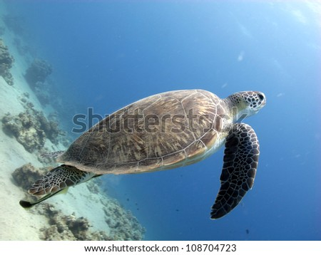 Green turtle swimming to the surface  (Chelonia mydas) - stock photo