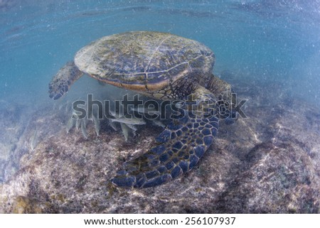 green turtle underwater while eating near the beach in Hawaii - stock photo