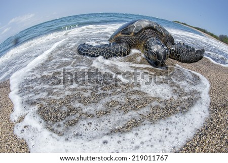 Green Turtle while relaxing on sandy beach - stock photo