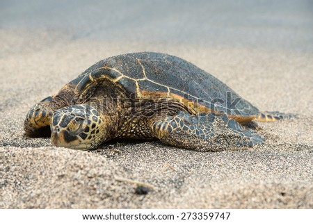 Green Turtle while relaxing on sandy beach in big island - stock photo