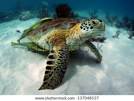 Green turtle with two (2) remoras in Akumal Bay - Riviera Maya, Mexico - stock photo