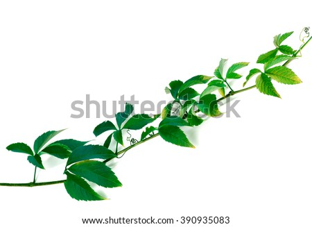 Green twig of grapes leaves, Parthenocissus quinquefolia foliage. Isolated on white background. - stock photo