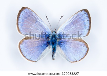 Green-underside Blue, Glaucopsyche alexis butterflies on white - stock photo