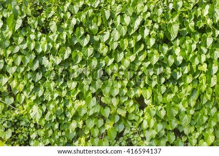 Green vein wall - stock photo