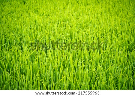 Green view of rice plant in paddy field - stock photo