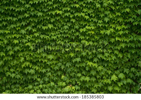 Green Vine Covered Wall - stock photo