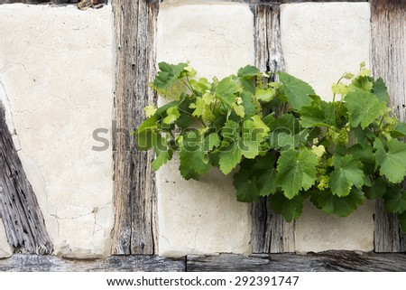 green vine growing on the wall of an old house - stock photo