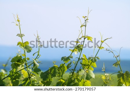 Green vine leaves with hills and sky in background - stock photo