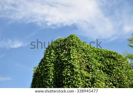 Green Vine or ivy on the tree with  beautiful sky and clouds background. - stock photo