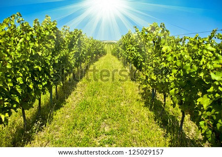 green vineyard - stock photo