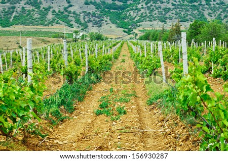 Green vineyard at the south valley with mountains, agricultural background - stock photo