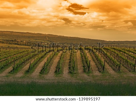 green vineyard under a cloudy sky at sunset - stock photo