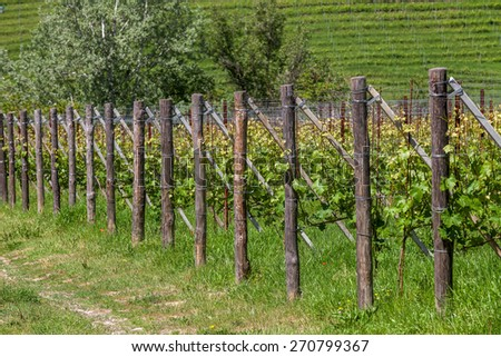 Green vineyards in a row on the hills of Piedmont, Northern Italy. - stock photo