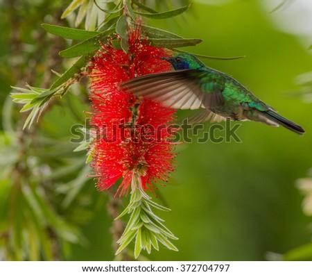 Green Violet-Ear, Colibri thalassinus, Hummingbird, feeding from red flower in natural habitat, San Gerardo de Dota, Costa Rica - stock photo