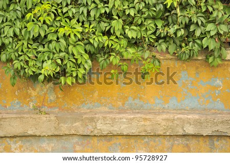 Green Virginia Creeper (Five-Leaved Ivy) on Old Concrete Wall - stock photo