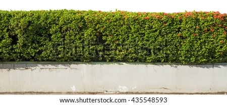 green wall plant,Clipping Path.White background - stock photo