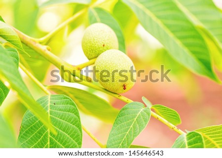 Green walnuts growing on branch on a tree - stock photo