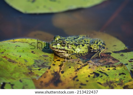 Green water frog (Rana lessonae), close up, selective focus on head - stock photo