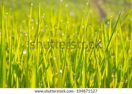 Green wet grass with dew on a blades - stock photo