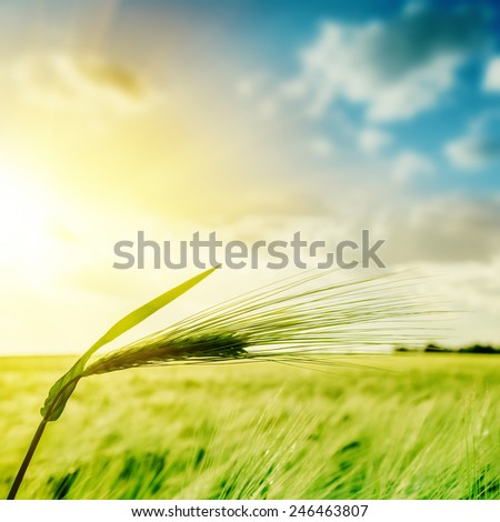 green wheat ears over field and sunset. soft focus - stock photo