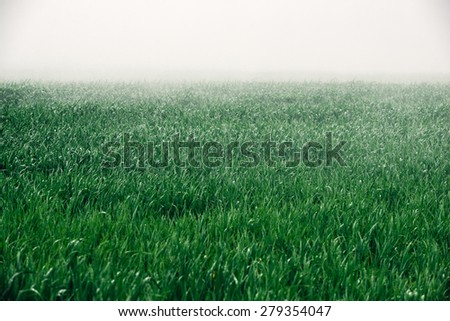 green wheat field in the rain, in the fields of agriculture - stock photo