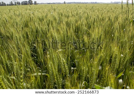 Green Wheat field with copy Space - stock photo