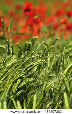 Green wheat field with poppy flowers - stock photo