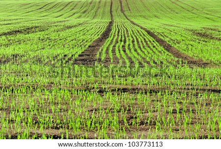 Green wheat is growing on a field. - stock photo