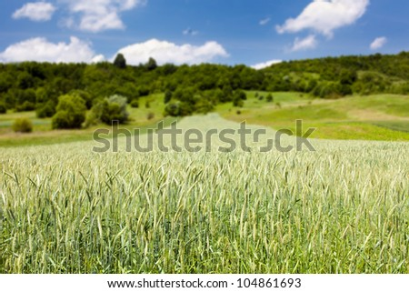 Green wheat on a field with forest in background - stock photo