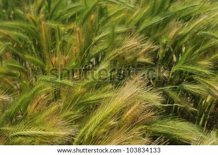 Green wheat on a grain field in spring - stock photo