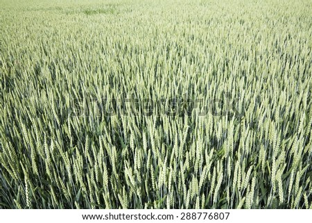 Green Wheat seen spring time - stock photo