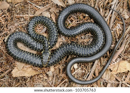Green Whip Snake (Hierophis viridiflavus) - pattern - stock photo