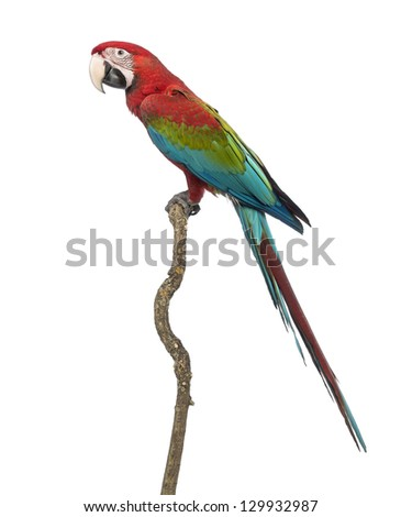 Green-winged Macaw, Ara chloropterus, 1 year old, perched on branch in front of white background - stock photo