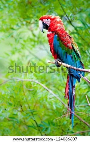 Green-winged macaw (lat. Ara chloroptera) - stock photo